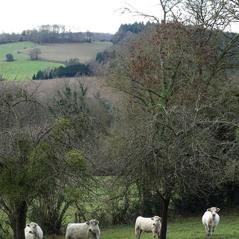 normandische koeien
